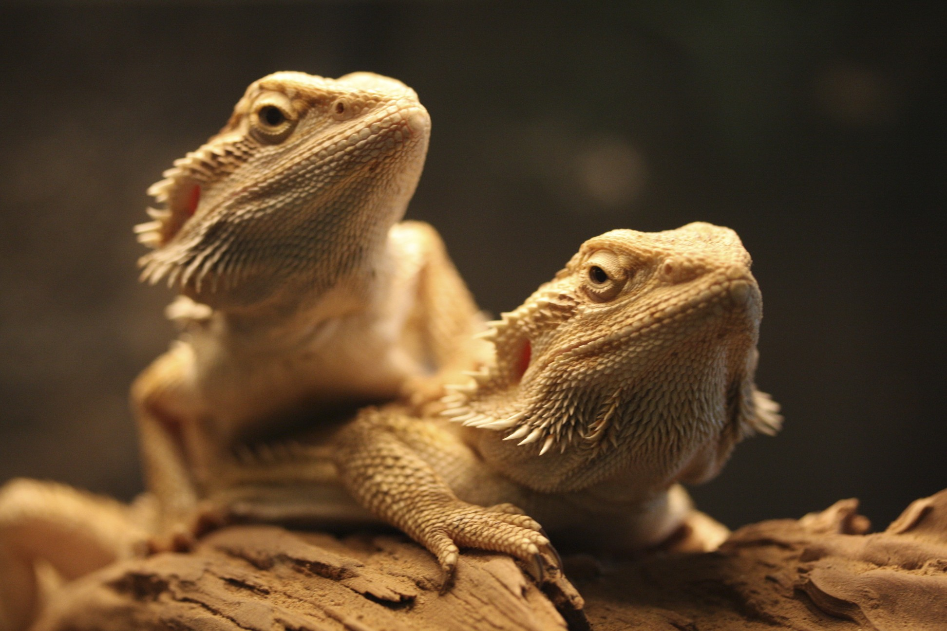 Bearded dragons in Australia have been shown to change sex in hotter environments.