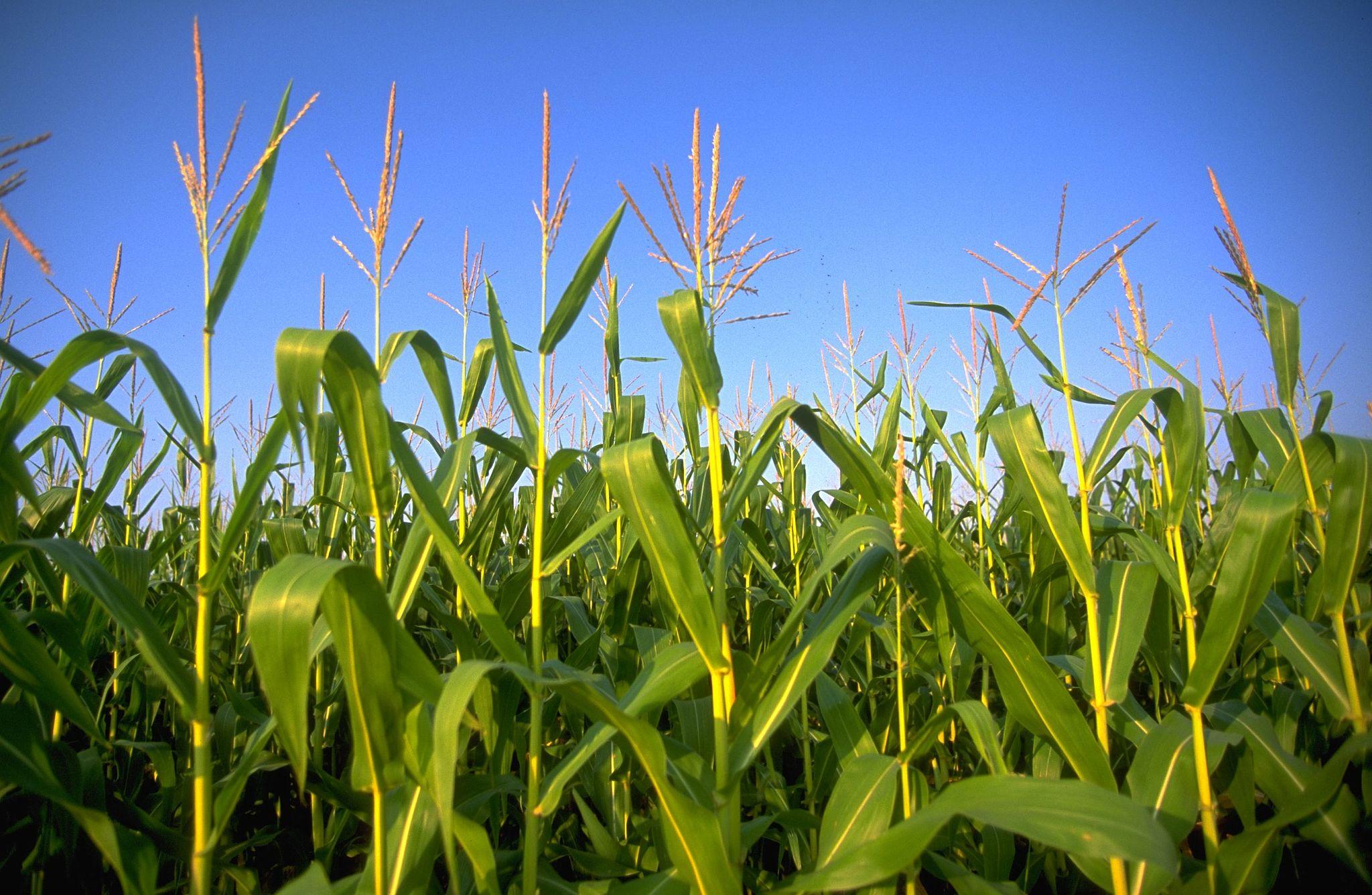 Crops, Wikimedia, Andrea_Booher