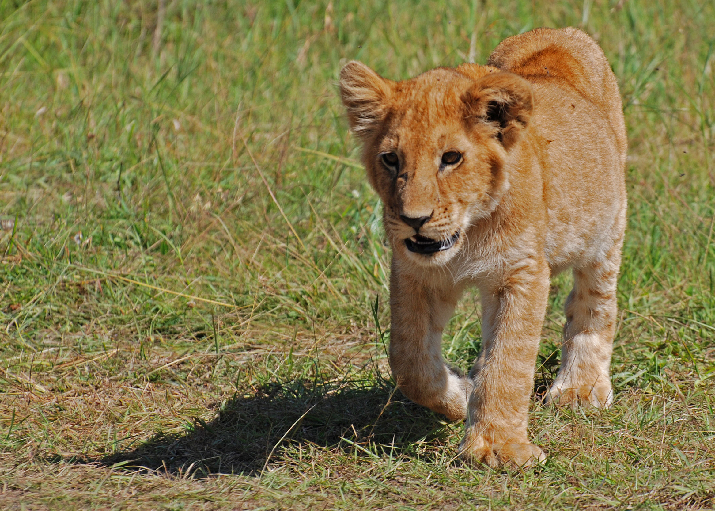 Lion cub. Photo: Paul Mannix, Science Box