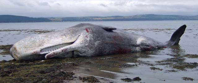 Hunstanton Beached Whale. Photo: Geograph.co.uk, Nick R