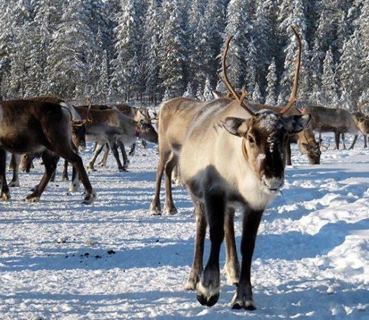 flickr, reindeer, Heather Sunderland