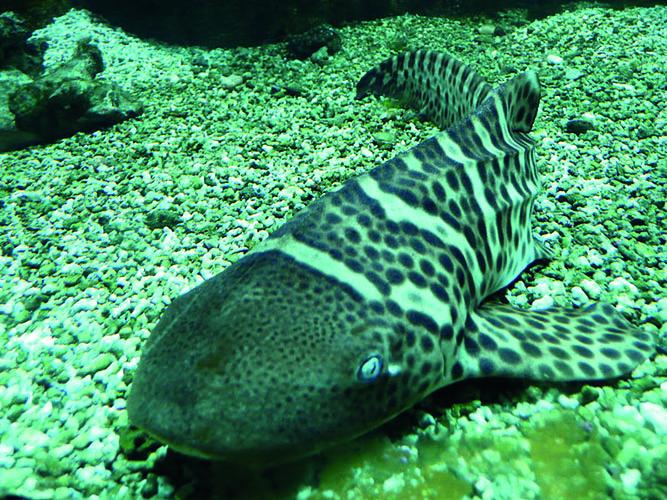 tiger shark, wikimedia