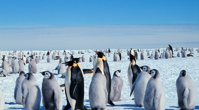 Penguins_ Wikimedia_Guisseppe