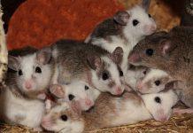 mice by sipa on pixabay