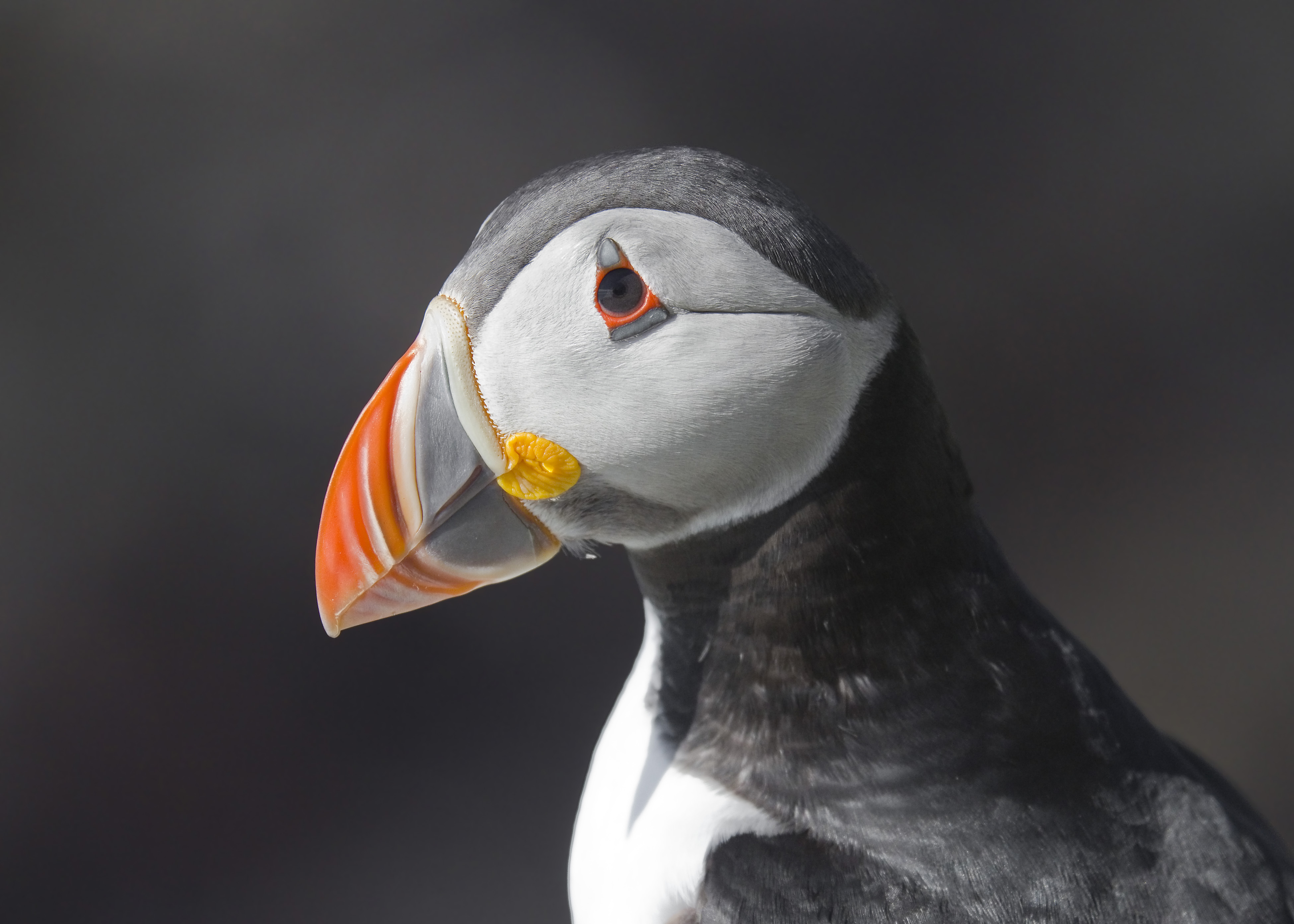 Atlantic Puffin. Photo: Wikimedia