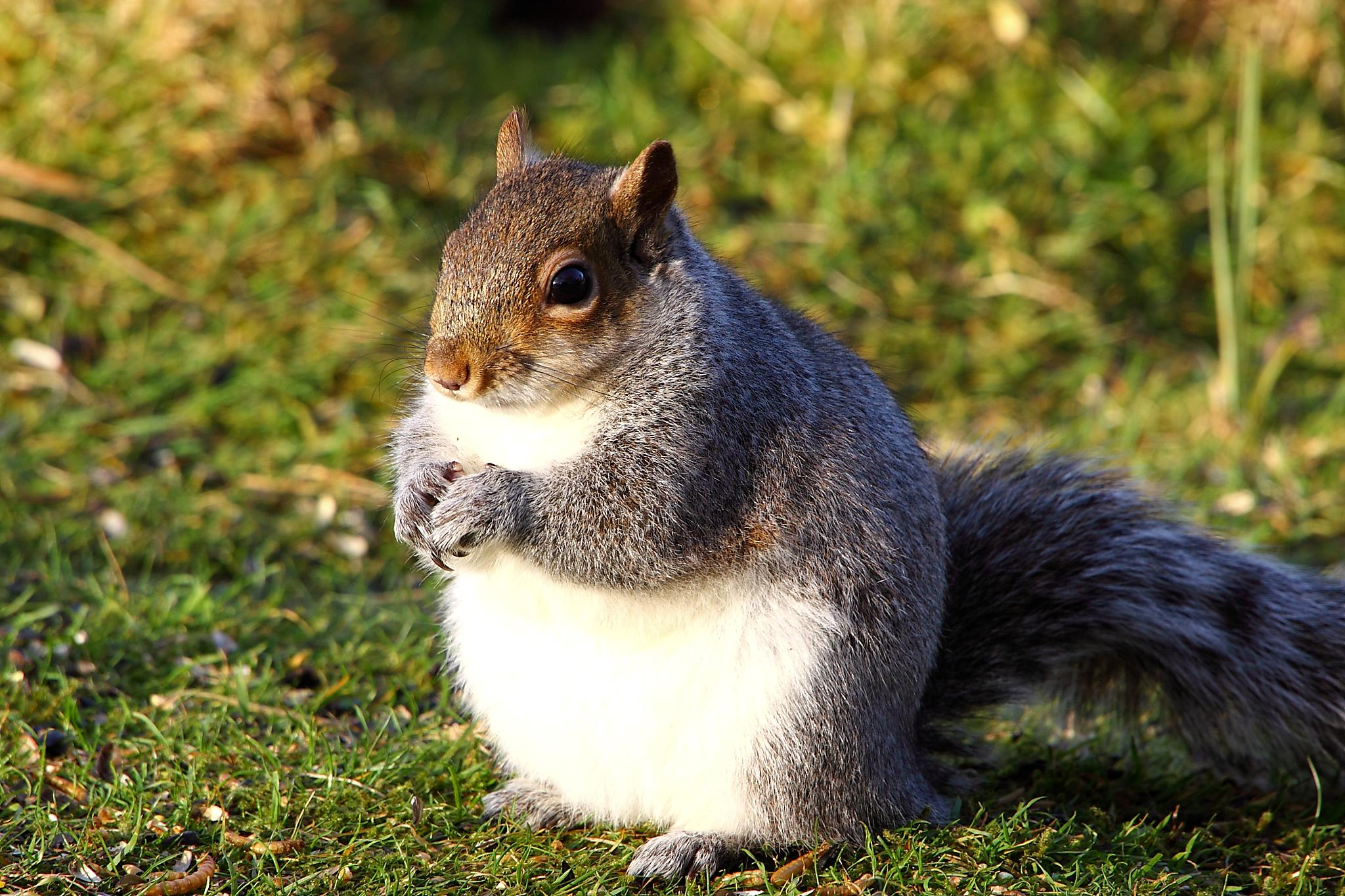 Fat Squirrel. Photo: Flickr, Airwolfhound