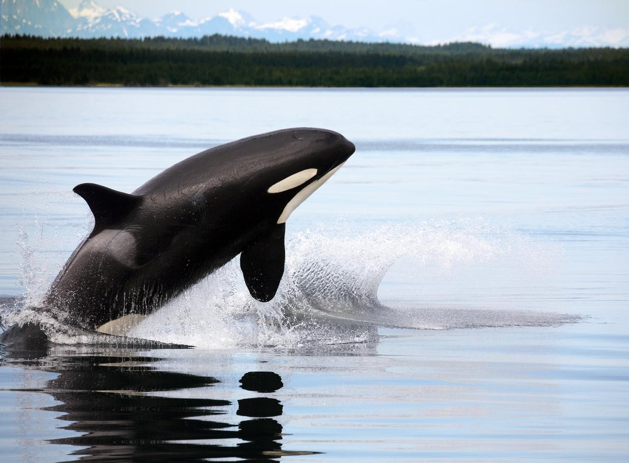 Orca Whales. Photo: Flickr, Christopher Michel