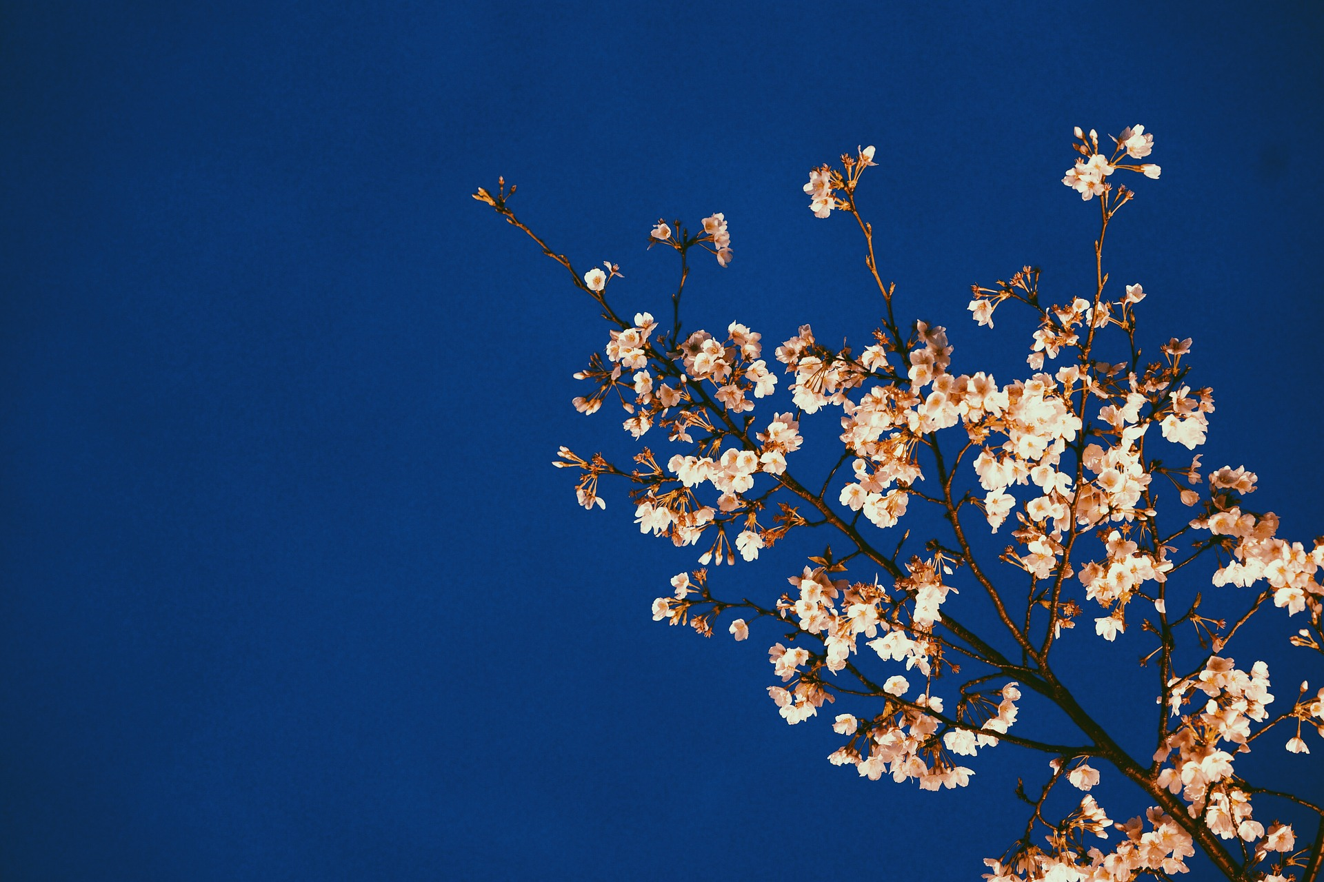 Cherry blossom. Photo: Pixabay