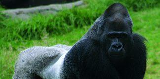 Gorilla, commons.wikimedia.org, Brocken Inaglory